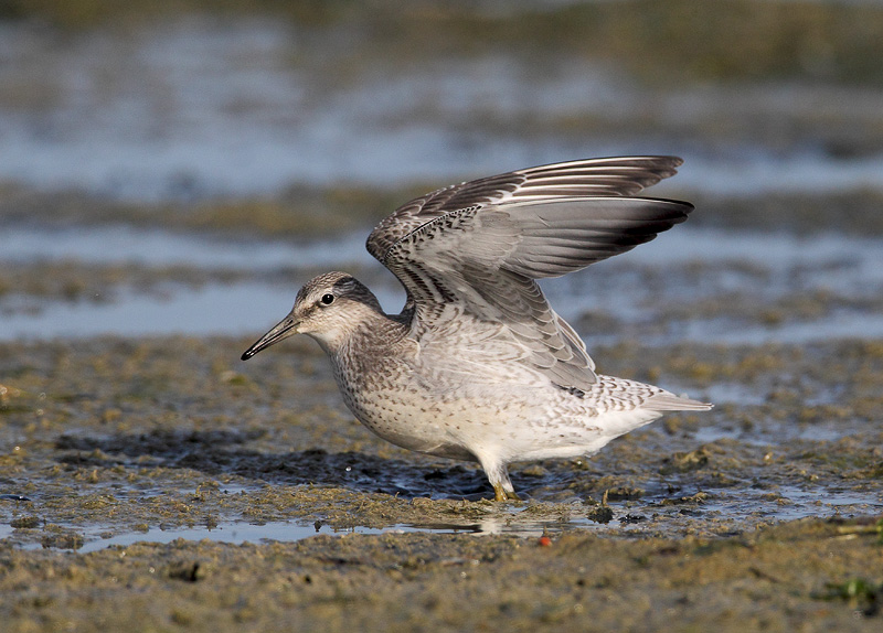 Red Knot-juvenile