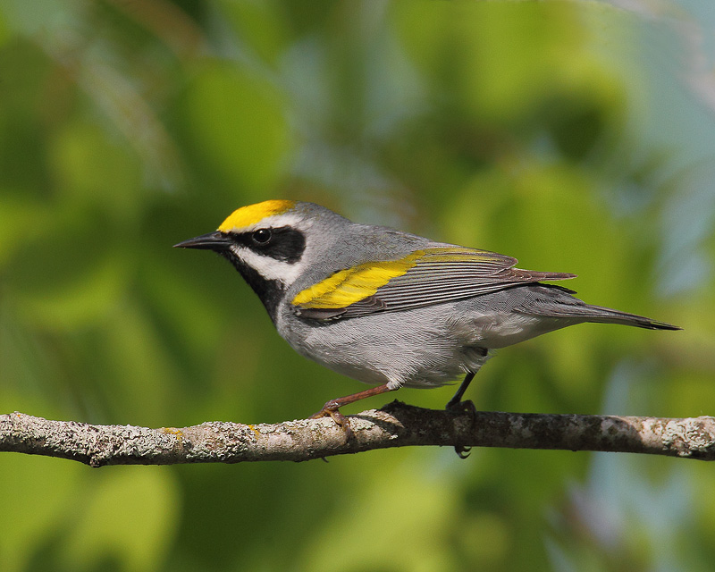 Golden-winged Warbler 2