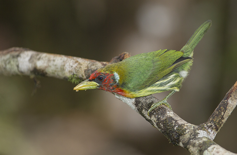 Red-headed Barbet  2