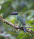 Title: Crimson-rumped Toucanet