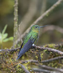Title: Golden-breasted Puffleg Hummingbird