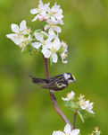 Title: Chestnut-sided Warbler 2