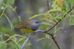 Title: Connecticut Warbler