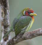 Title: Red-headed Barbet young