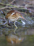 Title: Least Bittern with fishCanon 1 D X