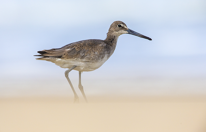 Willet in sand storm