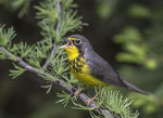 Title: Canada Warbler