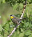 Title: Yellow-breasted Chat