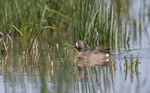 Title: Blue-winged Teal