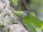 Title: Black-capped Tanager-female