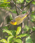 Title: Cape May Warbler
