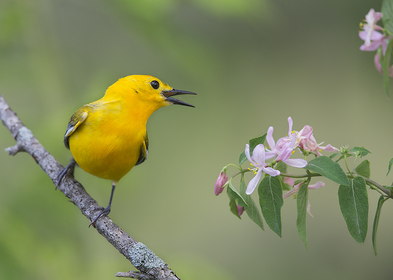 Prothonotary Warbler-2