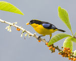 Title: Blue-winged Mountain Tanager