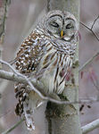Title: Barred Owl1D Mark II