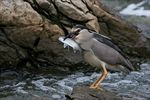 Title: (Nycticorax nycticorax)