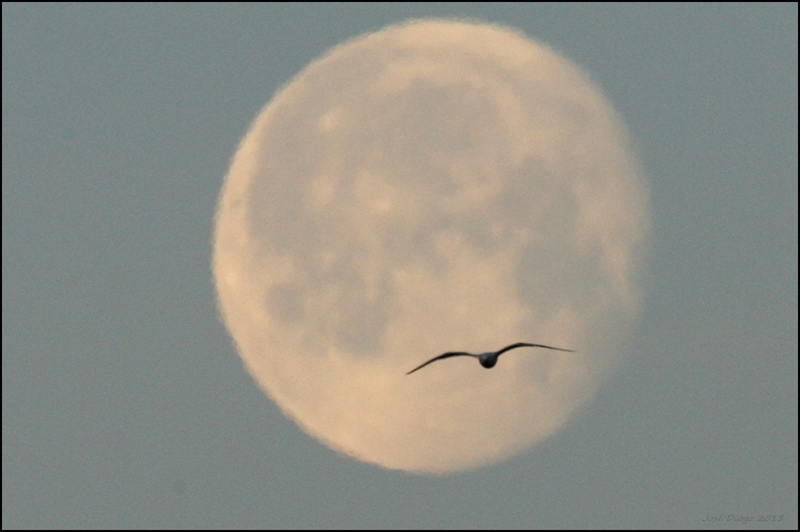 moonset and gull...