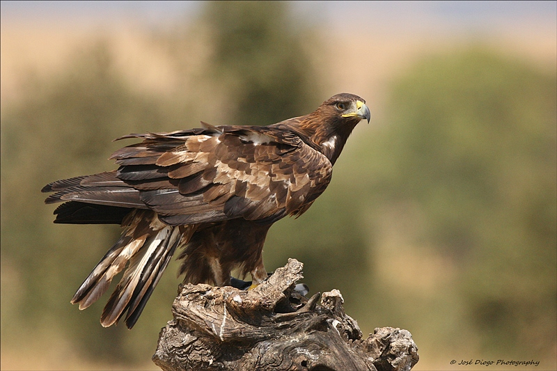(Aquila chrysaetos)