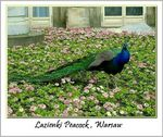 Title: | : Peacock, Warsaw : |