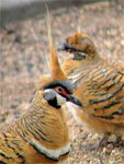 Title: Spinifex pigeon