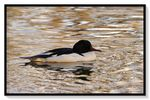 Title: Common merganser on golden water