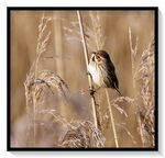 Title: Common  reed bunting