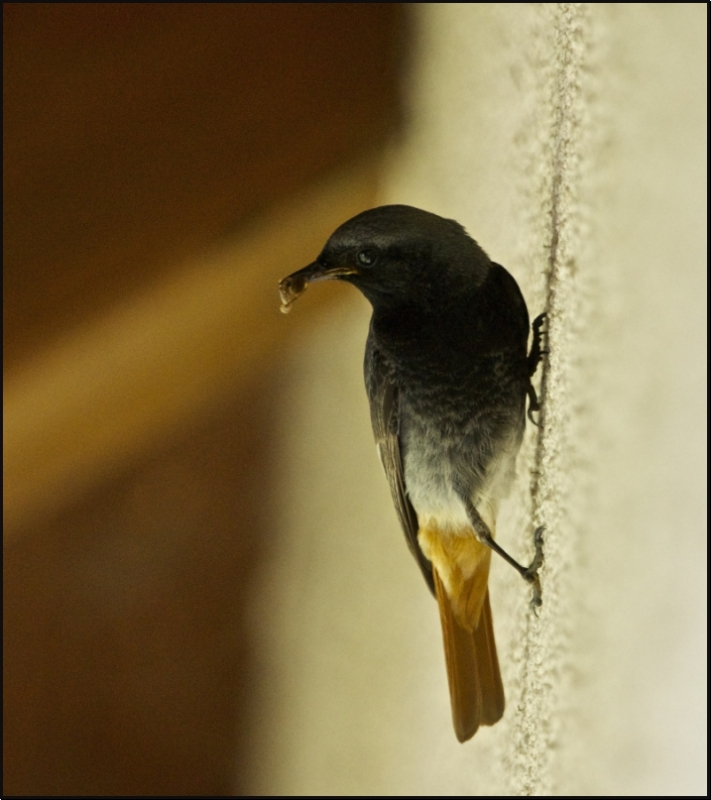 Black redstart on the wall