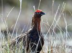 Title: Red grouse