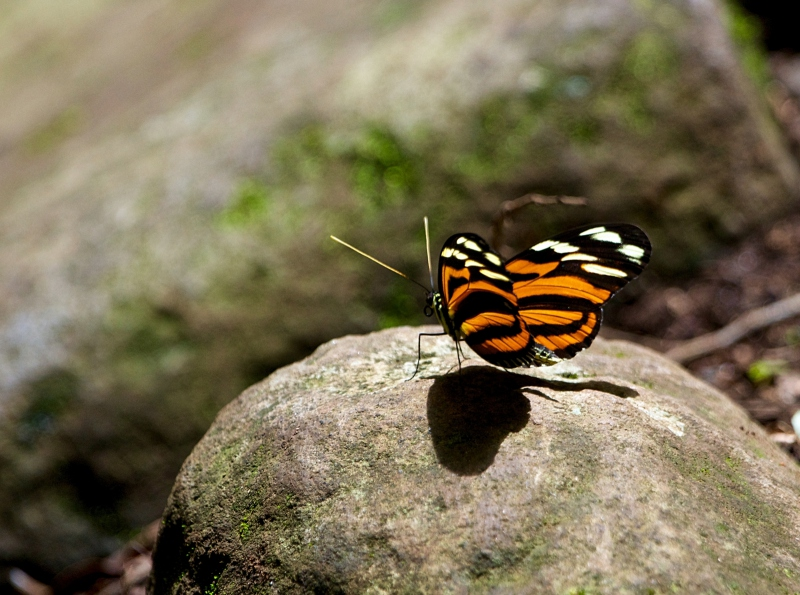 Costa Rican butterfly