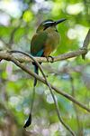 Title: Turquoise-browed motmot