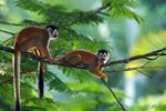 Title: Squirrel monkeys