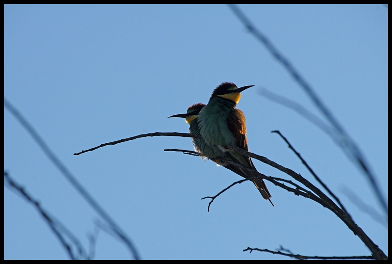 Bee eater in the evening sun