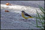 Title: Yellow WagtailSony Alpha DSLR A200