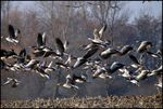 Title: Geese