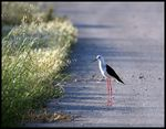 Title: Black-winged Stilt