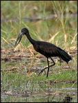 Title: African openbilled StorkSony Alpha DSLR A450