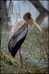 Title: Young Yellow-billed Stork