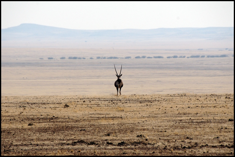 Lonely Oryx