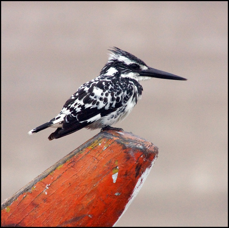 Pied Kingfisher on the river Ganges