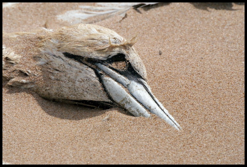 Gannet in the sand