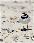 Title: Common ringed plover