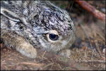 Title: Young hare