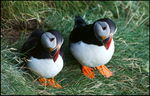 Title: Common Puffin