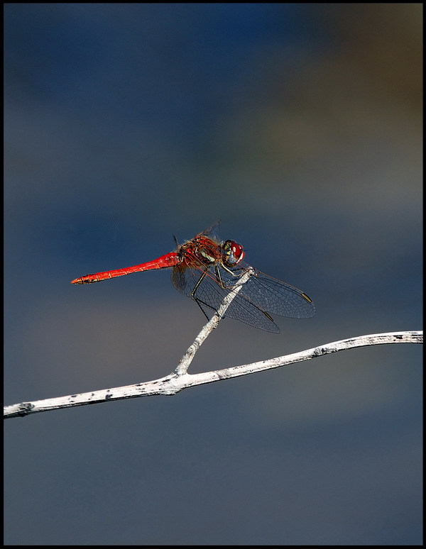 Little red dragonfly