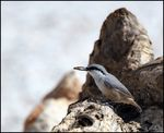 Title: Western Rock Nuthatch