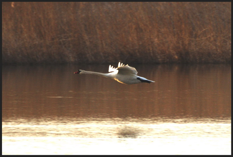 Mute Swan in the morning light