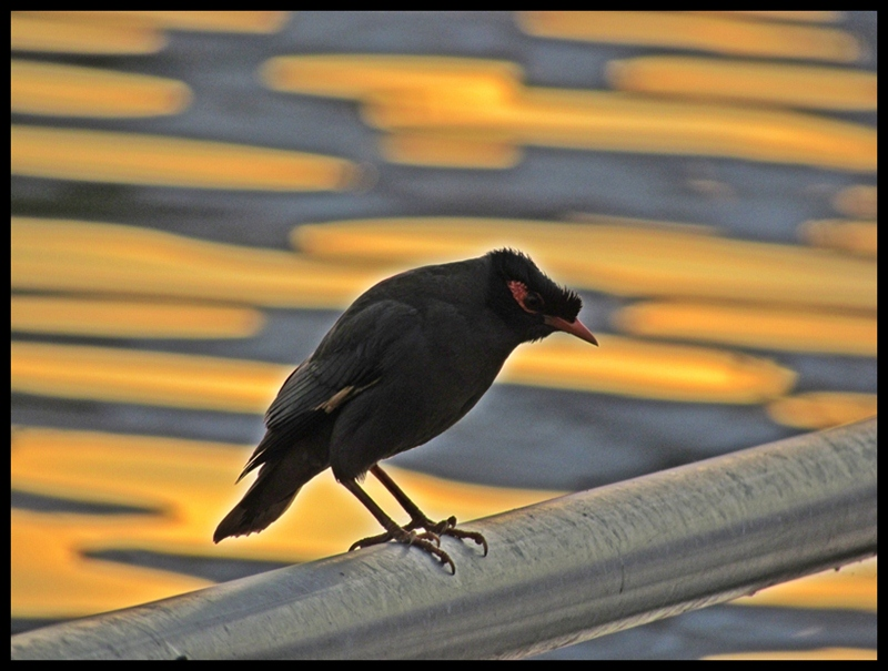 Bank Myna sunset