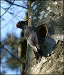 Title: Black Woodpecker