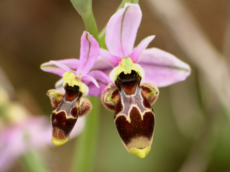 Ophrys picta/ Ophrys scolopax