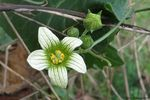 Title: Bryonia dioica