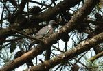 Title: Wood Pigeon